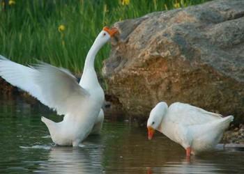 養鵝:圈養肉鵝的飼喂方法(家禽養殖)