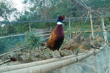 饲养山鸡(雉鸡)需要哪些蛋白质饲料?饲喂量多少为宜?
