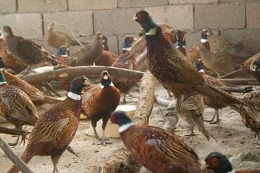 養雞知識:山雞(七彩錦雞)有什么經濟價值?