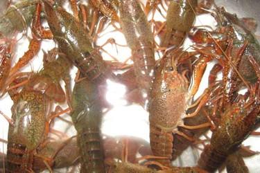 疫情影響下,稻蝦種養春季生產管理技術要點