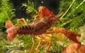 小龍蝦人工養殖項目的創業投資前景