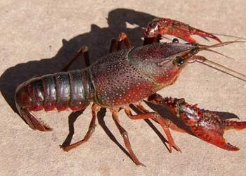養蝦:軟殼龍蝦養護養殖技術(水產品)