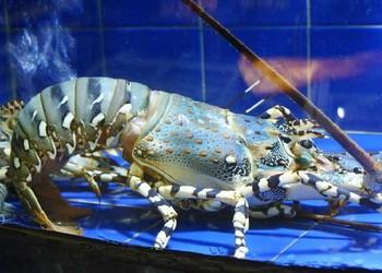 龍蝦專題:澳洲大龍蝦養護養殖技術