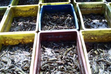 泥鰍喜歡吃什么-泥鰍養殖的飼喂方法