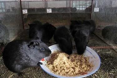 黑豚的飼養方式(特養創業項目)