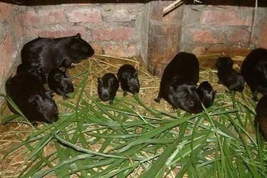 黑豚的饲料配方及其投资成本【特种养殖】