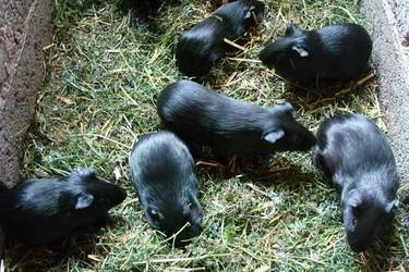 (特养创业)黑豚饲养的经济价值