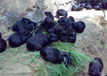 黑豚鼠體內寄生蟲防治措施/手段(特種養殖)