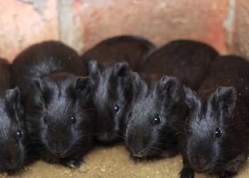 特種養殖:黑豚人工高效飼養技術