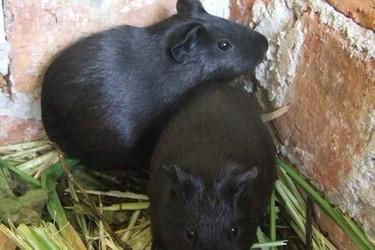 豚鼠特种养殖:怎样识别黑豚鼠炒种骗局