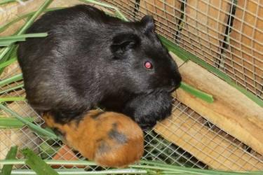 特种养殖:豚鼠喂养/养殖技术