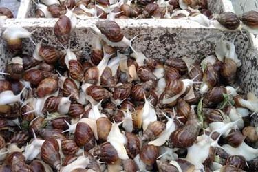 (特养创业)白玉蜗牛如何室内饲养?