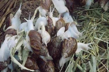 特种养殖专题:白玉蜗牛种的选择标准