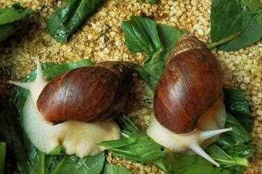 白玉蜗牛温度控制技术(特种养殖)