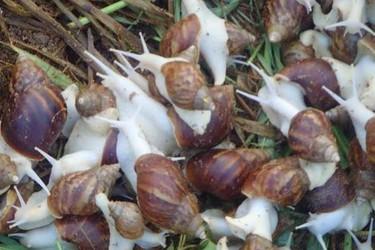 白玉蜗牛高效饲养技术(特养创业项目)
