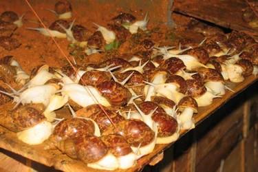 (特种养殖创业)白玉蜗牛的野外饲养技术