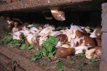冬季白玉蜗牛饲养保温措施(特种养殖)