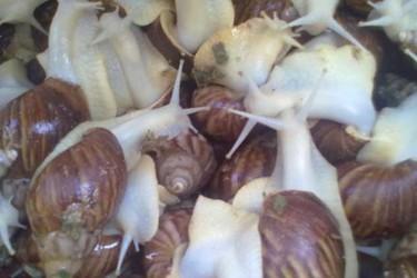 """特种养殖:白玉蜗牛的""""三高""""饲养新方法"""