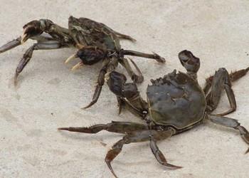 螃蟹爛肢病防治方法(特種水產養殖專題)