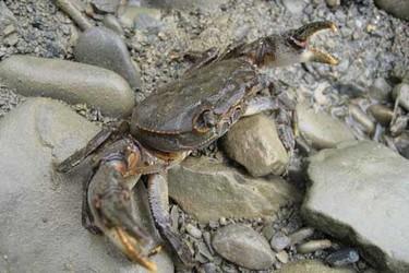 河蟹(大閘蟹)的池塘無公害養殖技術規程