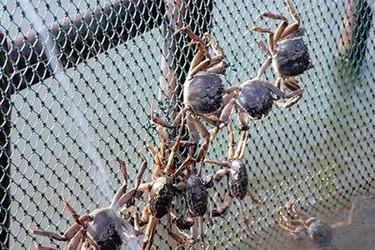 河蟹囤养技术:疫情防控期间,河蟹囤养有哪些注意事项及措施?