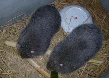 野生竹鼠的驯养技术(特种养殖项目)