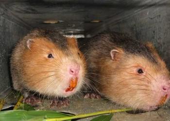 竹鼠應急期喂食注意事項(竹鼠特養)