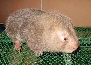 貴州竹鼠飼養喂養技術(特養創業)