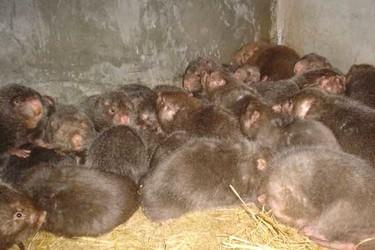 特养创业:竹鼠舍饲养喂养环境控制