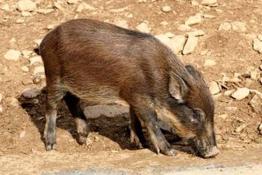 大學生辭去高月薪工作 回鄉創業養野豬致富