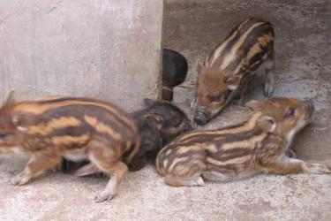 野豬飼喂的營養搭配方案(養野豬知識)