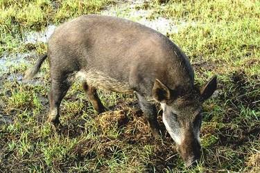 特養知識:野豬的生活習性與繁育特性