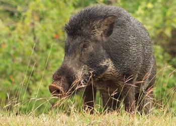 特種野豬冬季管理方案(養野豬知識)