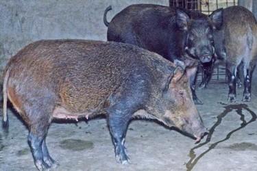 養野豬專題:野公豬繁育力低的原因分析