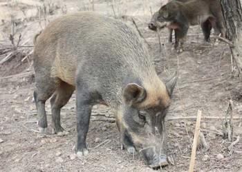 特种养殖:养野猪项目的可行性怎么样?