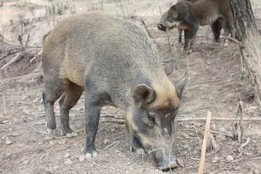 特種養殖:養野豬項目的可行性怎么樣?