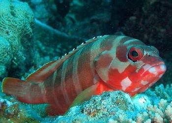 养鱼专题:石斑鱼的饲养喂养方法