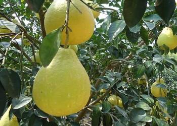 【水果专题】沙田柚栽植种养技术及注意点