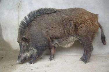 適時配種提高野豬養殖養護效益(養野豬知識)