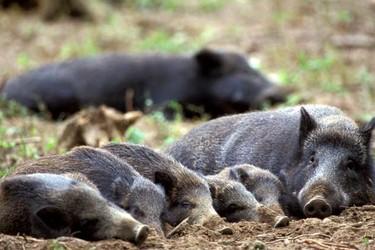 野豬痢疾防治與野豬破傷風治療方法
