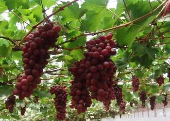 葡萄栽培種養技術視頻(69農村創業網)