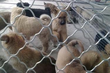 人工养殖肉狗技术指导(视频图文解说)