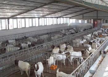 视图解说:波尔山羊养殖技术视频