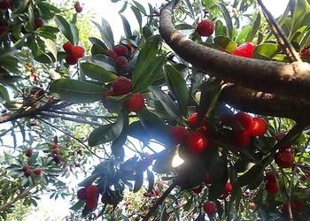 【水果專題】楊梅樹栽種幾年可以結果?