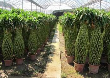 园艺农技:富贵竹笼的栽种技术方法和注意事项