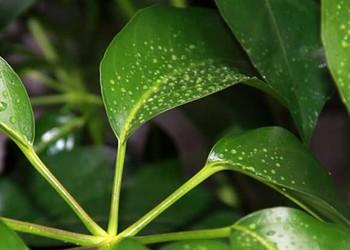 花木技術:發財樹的澆水方法