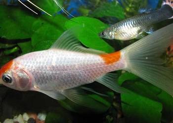養觀賞魚:草金魚如何養?