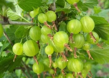 【水果產地知識】燈籠果的產地有哪些?