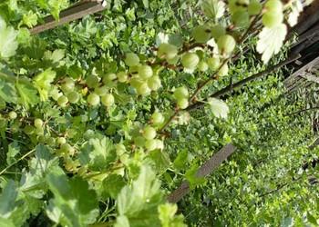 果樹種植創業:燈籠果栽培種養技術視頻