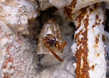 馬蜂和蜜蜂的的區分辨別(農業知識)
